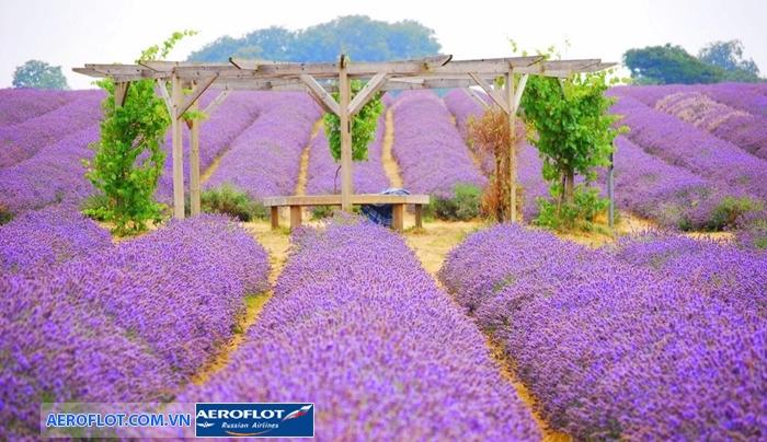 Cánh đồng hoa oải hương Mayfield Lavender
